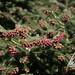 Abies cephalonica Meyer's Dwarf - pollen cones