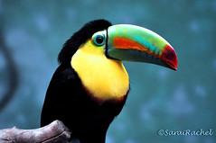 animal(1.0), toucan(1.0), fauna(1.0), close-up(1.0), coraciiformes(1.0), beak(1.0), bird(1.0),