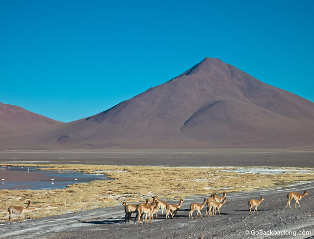 A herd of Vicuña