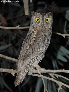 Common Scops-Owl \ Otus scops \ שעיר מצוי