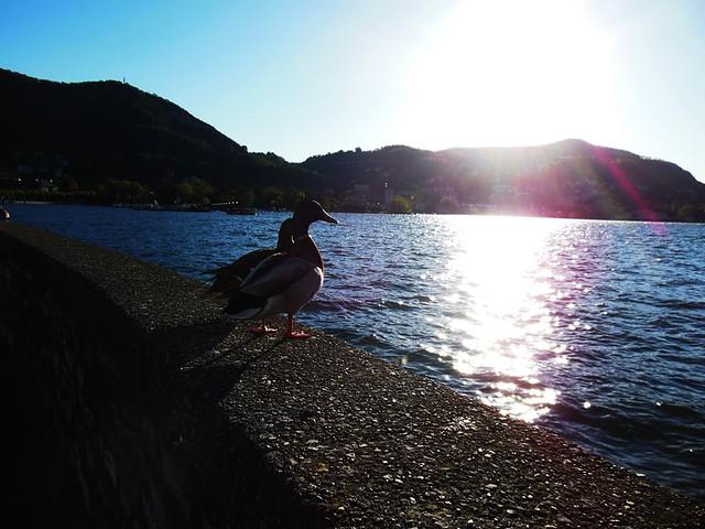 Lago di Como & duck