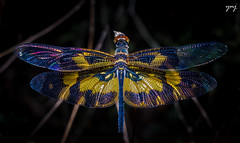 Picture Wing Dragonfly