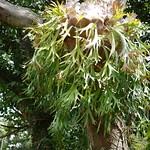 Staghorn fern ビカクシダ 東南植物楽園