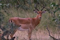 animal, prairie, antelope, springbok, mammal, hartebeest, fauna, impala, grassland, safari, gazelle, wildlife,