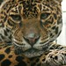 Small photo of Jaguar (panthera onca), Amazona Zoo
