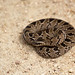 Snouted Night Adder (Leon Marais)