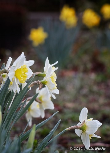 Daffodils and bokeh by andiwolfe