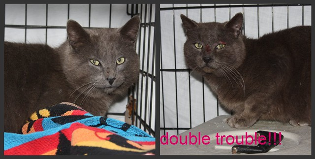 TNR double trouble - 2 gray tom cats