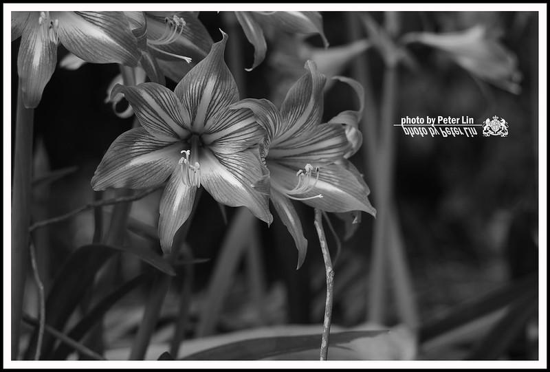 孤挺花季節