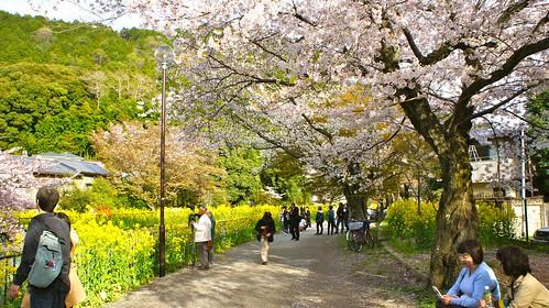 山科疏水公園の桜と菜の花