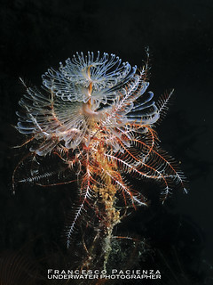 Tubeworm with crinoids - 3625