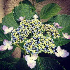 shrub(0.0), flower(1.0), hydrangea serrata(1.0), plant(1.0), flora(1.0), hydrangeaceae(1.0),