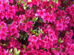Bright Azaleas by randubnick