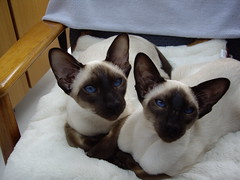 animal, siamese, small to medium-sized cats, pet, thai, tonkinese, cat, burmese, carnivoran, whiskers, balinese,