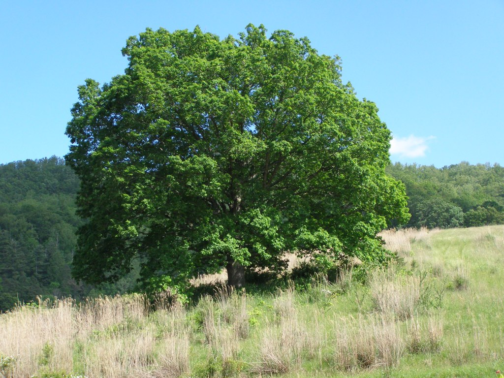 Treasured White Oak (Quercus alba)