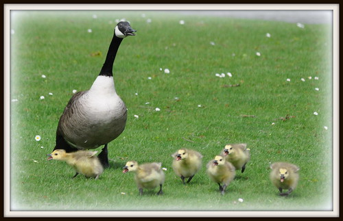 Goslings with attitude!!!