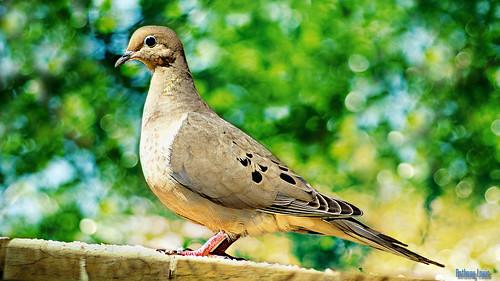 TGIF Dove