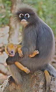 IMG_1768 dusky langur and infant