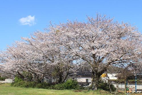 Cherry Blossoms 2012. 厚陽公民館桜
