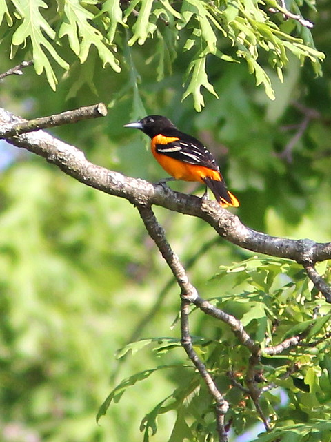 Baltimore Oriole 20120514