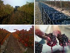 foto+de+viñedos+mayo[1]