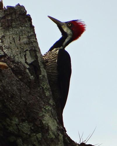 Carpintero real pico amarillo [Crimson-crested Woodpecker] (Campephilus melanoleucos melanoleucos) (♀) by barloventomagico