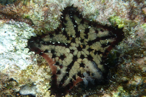 Sea star underwater