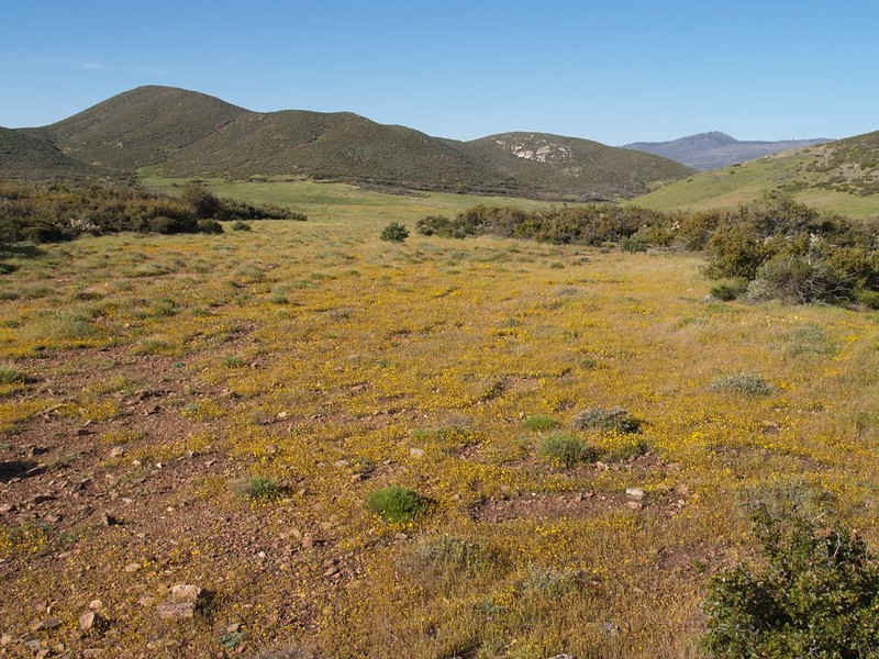 Yellow-flowered meadow on the PCT that drains down into Lake Cuyamaca
