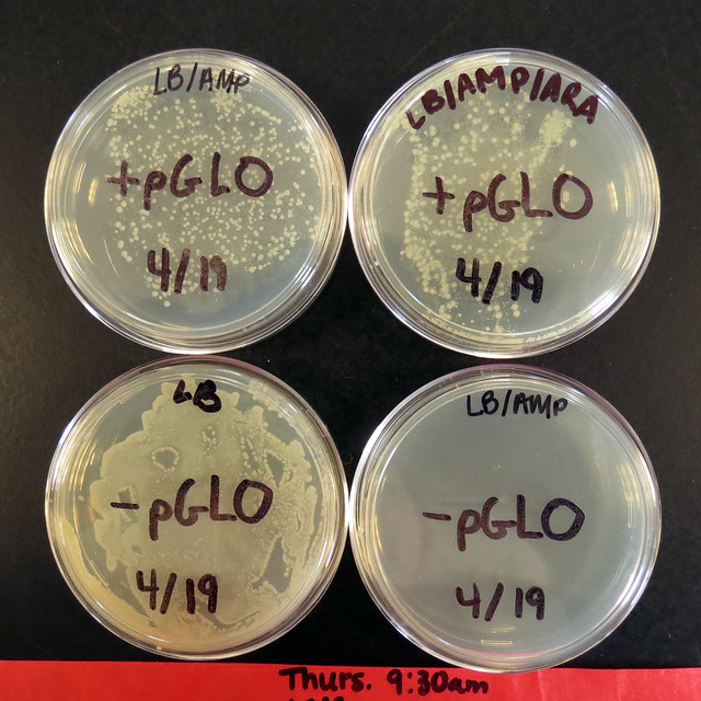 pglo transformation lab answers Ap bio pglo transformation formal lab report essay sample abstract: the topic of this research involved the occurrence of genetic transformation in bacteria (e coli).