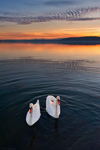無料写真素材, 動物 , 白鳥・ハクチョウ, 河川・湖, 朝焼け・夕焼け