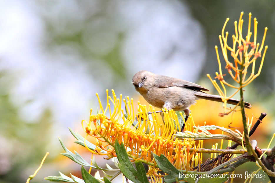 052212_bird_bushtit