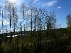 Birkenwald mit See