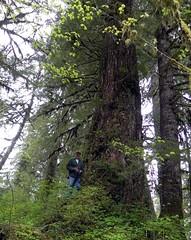 Big tree, Wynoochee Falls