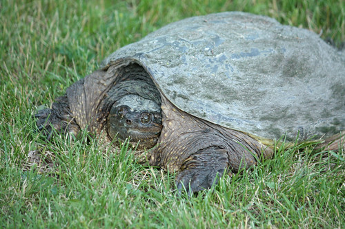 Snapping-Turtle-1