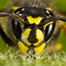 Wasp - As seen on BBC Nature