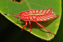 Tessaratomid Stink Bug Nymph (Tessaratomidae)