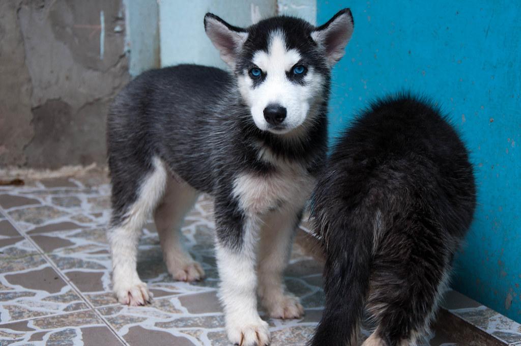 Bán chó Husky mắt xanh 6tr tuyệt đẹp - 6