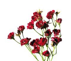 """""""littel red roses"""""""