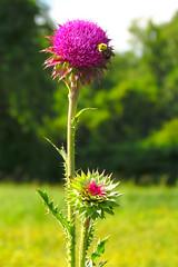 asterales, annual plant, prairie, flower, field, wildflower, flora, silybum, meadow, plant stem,