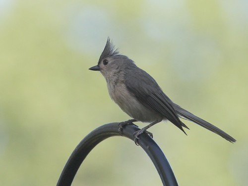 Tuffted titmouse. by ricmcarthur