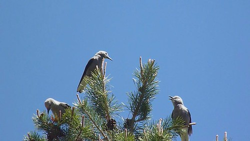 california bird aves nutcracker clarks columbiana passeriformes corvidae sagehencreek sierraco stampedereservior nucifaga