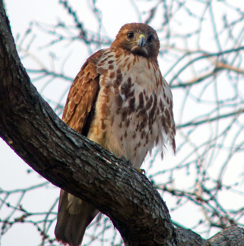 Female red tail in Tompkins Square
