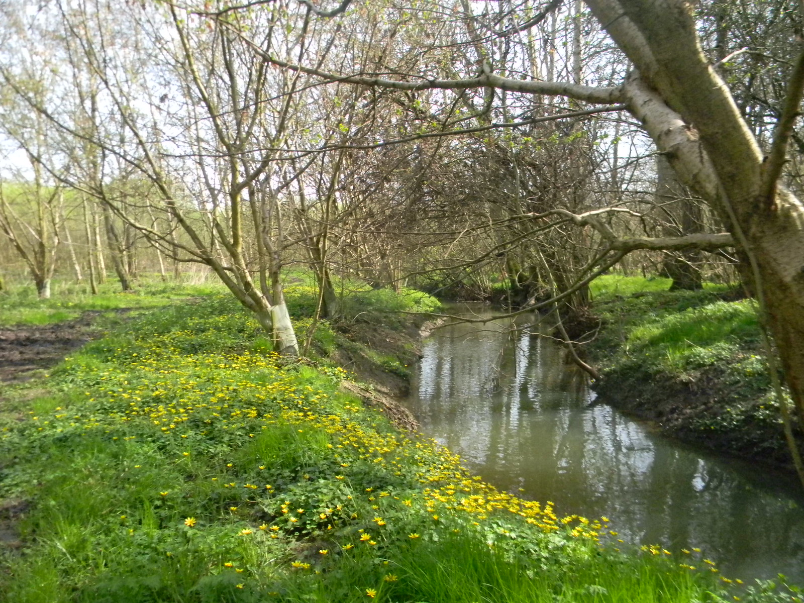 Stream with celandine Haddenham to Aylesbury