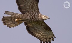 Honey Buzzard using nictitating membrane