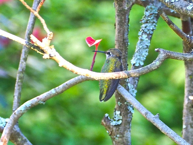 Happy Hummingbird on a Branch (Explored June 26/2016) -