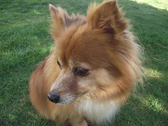 Pomeranian Sheltie Mix Pomeranian sheltie mix sheltie