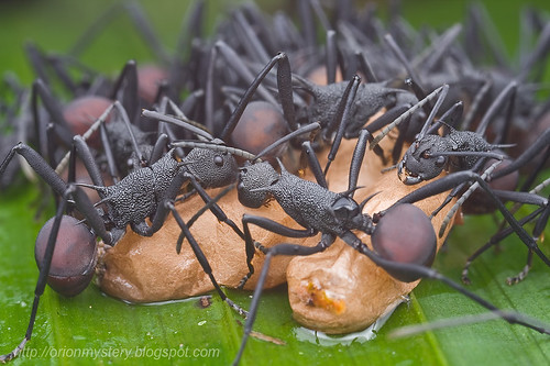 Polyrhachis sp. ants with pupae..IMG_0847 copy