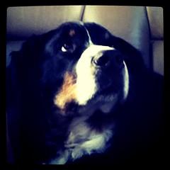 animal(1.0), dog(1.0), pet(1.0), bernese mountain dog(1.0), carnivoran(1.0),