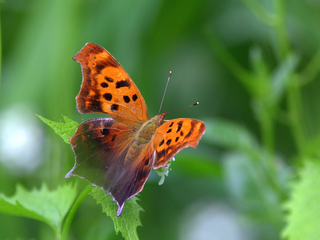 Eastern Question Mark Polygonia-interrogationis 20120503