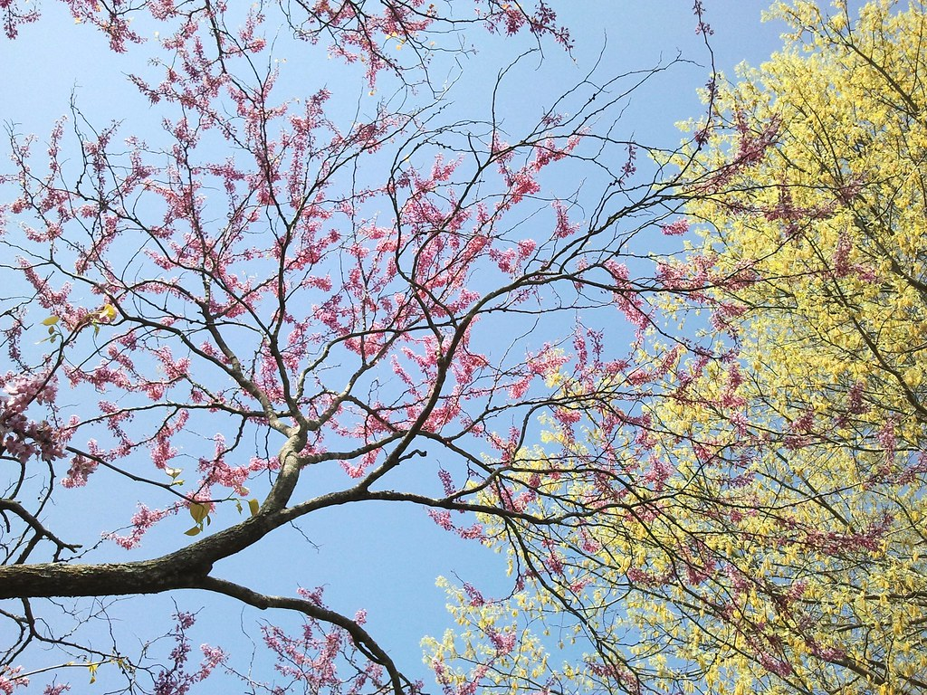 Reflecting on redbuds powell gardens kansas citys botanical garden redbuds flower color actually is a blue pink and looks fabulous against a blue sky and the perfect compliment for yellow greens like the pin oak quercus izmirmasajfo